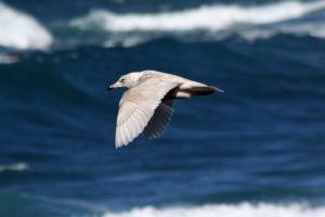 Glaucous Gull MACLP 020813